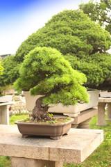 Bonsai in Humble Administrator's Garden, Suzhou, China