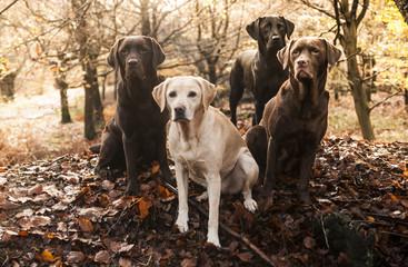 four labradors