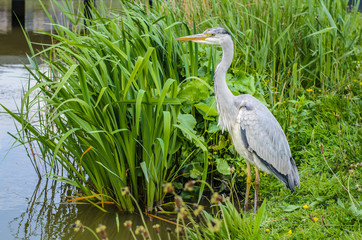 Great gray heron waiting for a catch