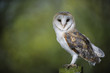 Woodland Barn Owl 2 - 73718127