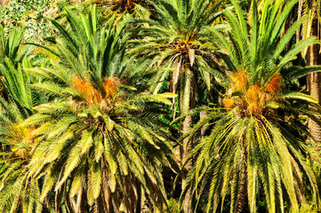 Tropical Canarian Green Palm Leaf Background