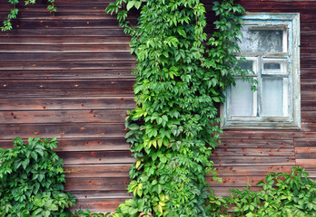 window of an old wooden house with ivy on it