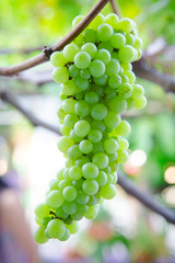 Green grapes at the vineyard.
