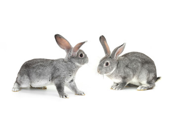 two gray rabbit