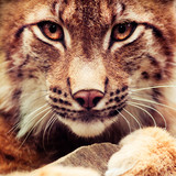 Muzzle of wild lynx close-up