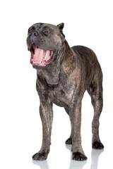 cane corso dog yawning