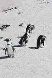 Afrikanische Pinguine Strand Simons Town