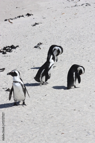 Keuken foto achterwand Pinguin Afrikanische Pinguine Strand Simons Town