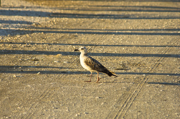 Seagull is walking on a gravel road at sunrise