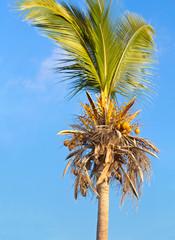 cocotier dépouillé de presque toutes ses feuilles