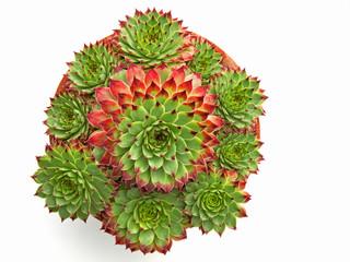 Potted Sempervivum Hirtum plants