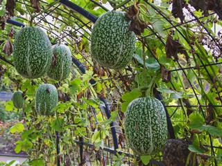 Fig-Leaf Gourds ( Cucurbita ficifolia )