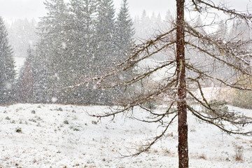 snowstorm in coniferous forest