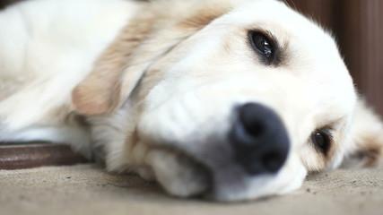 Puppy of golden retriever closeup