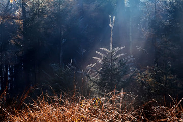 sunbeams over spruce tree in foggy forest