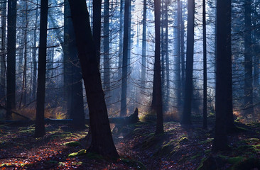 old misty coniferous forest