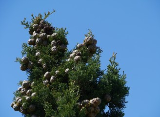 Pine trees opposite a blue sky