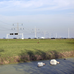 swans in duckweed and traffic on motorway in The Netherlands