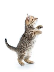playful scottish kitten looking up isolated