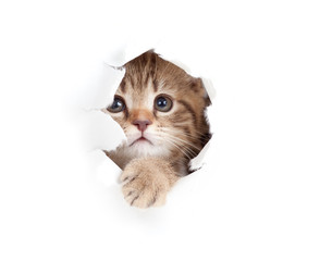 little cat looking up in paper side torn hole isolated