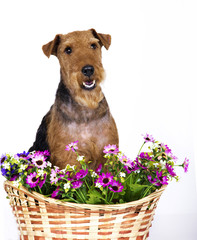 dog Welsh Terrier
