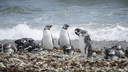 pinguini pinguinera punta arenas 8