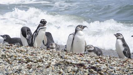 pinguini pinguinera punta arenas 2