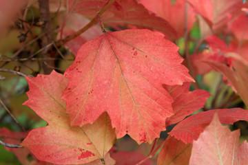 Autumn colors. Red leaf of viburnum