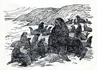 Northern fur seal (Callorhinus ursinus)-male and harem