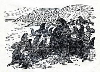 Northern fur seal (Callorhinus ursinus)-male and harem