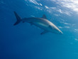 Silky shark (Carcharhinus falciformis) in water