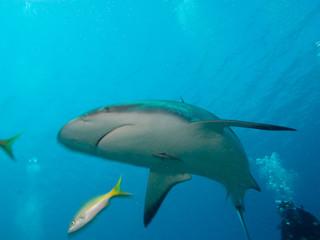 Caribbean reef sharks (Carcharhinus perezi), cuba