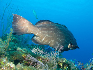 black grouper (Mycteroperca bonaci), cuba