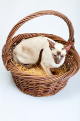 Siamese Cat  getting out a big basket