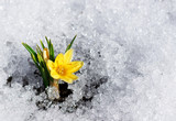 Fototapety yellow crocus in snow