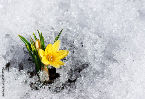 Fotobehang Lente yellow crocus in snow