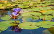 canvas print picture - Purple water lilies Nymphaeum on the pond