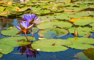 Purple water lilies Nymphaeum on the pond