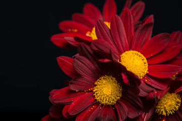 macro composition of red velvet chrysanthemum flowers on black b