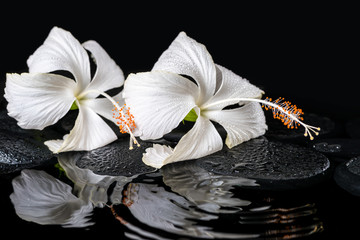 Beautiful spa concept of two delicate white hibiscus, zen stones