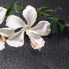 spa concept of blooming delicate white hibiscus, green twig with