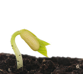 Seedling beans in the ground, isolated on white background.