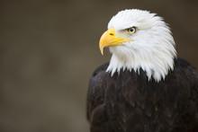 "Постер, картина, фотообои ""Bald headed eagle, side profile."""