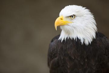 Bald headed eagle, side profile.