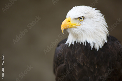 Staande foto Eagle Bald headed eagle, side profile.
