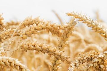 Goldgelbe Getreideähren als Hintergrund