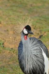 Grey Crane standing up