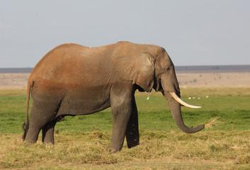 großer Elefant