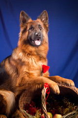 German shepherd put his paws on a wicker basket. Blue background