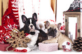 puppy сhristmas French Bulldog